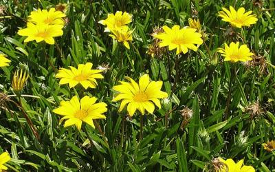A Arnica é um anti-inflamatório natural, além de ser cicatrizante e analgésico.