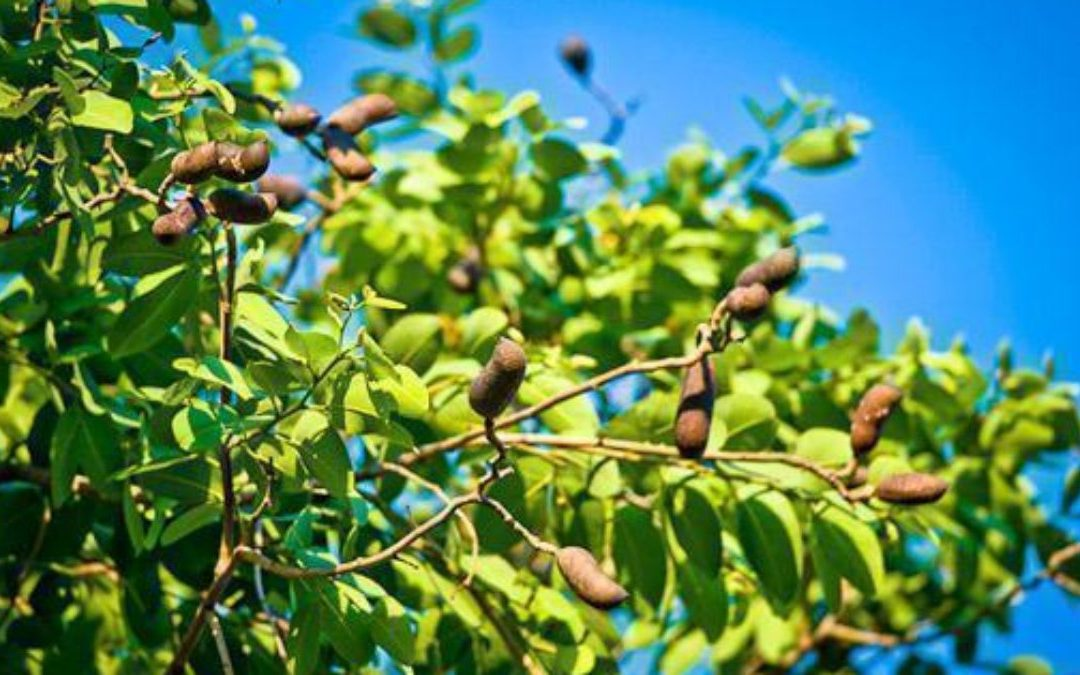 Planta Jatobá como uso medicinal