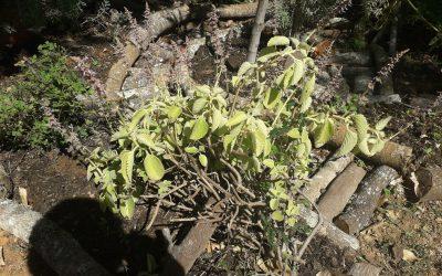 Uma planta que combate insônia e acalma o sistema nervoso